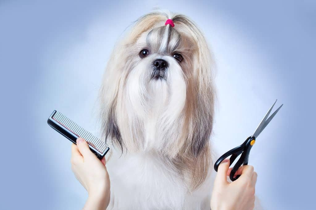 shih tzu groom home clippers