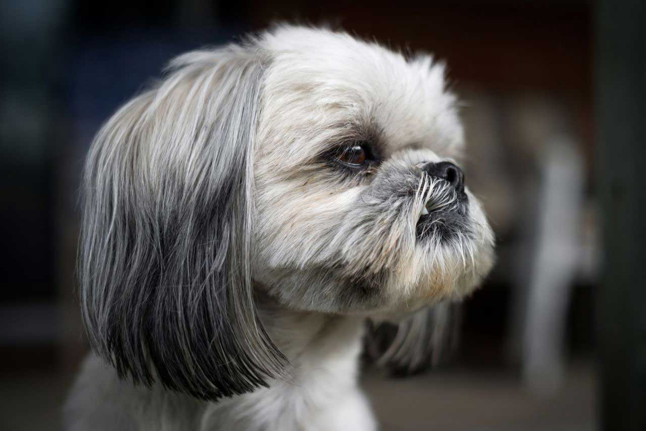 grey and white shih tzu