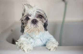 Shih Tzu Shampoo And Conditioner – How To Choose The Right One