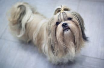 The Best Brush For A Shih Tzu