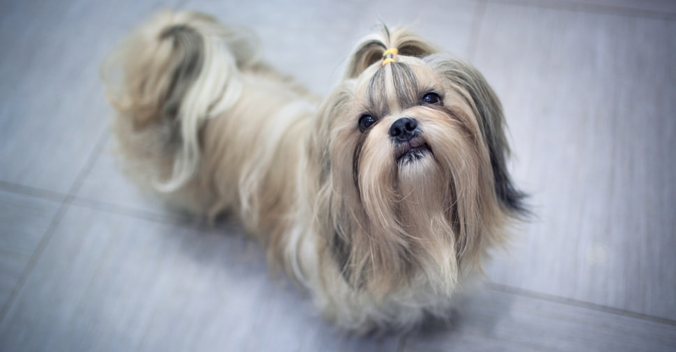 best brush shih tzu