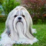 Best Dog Detangling Spray For Your Shih Tzu