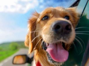 dog in car seat