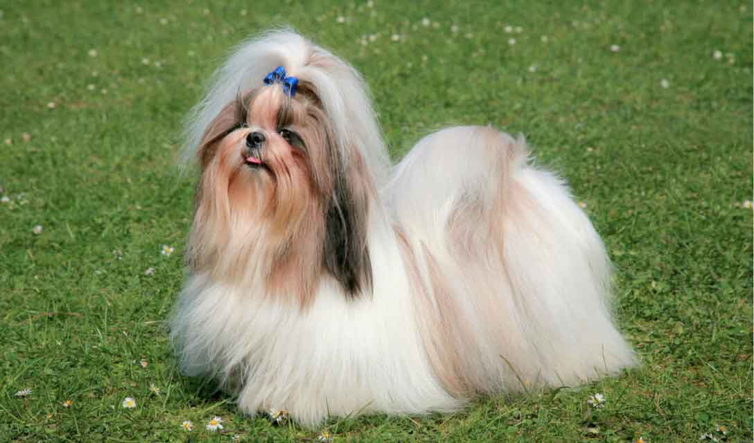 vitamins shih tzu coat