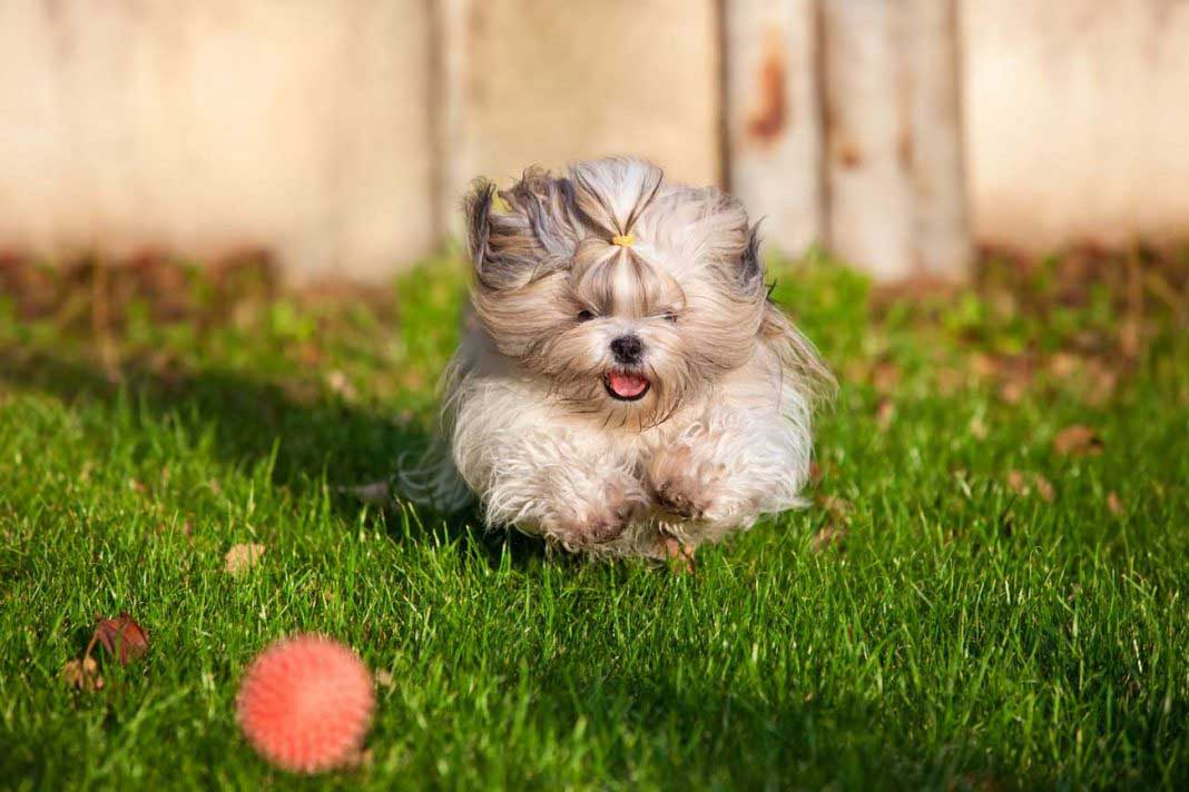 best chew toys for shih tzu puppies