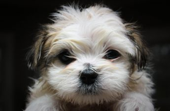 Shih Tzu Tear Stain Removal – A Helpful Guide