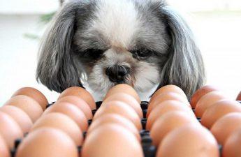 Can A Shih Tzu Eat Eggs?