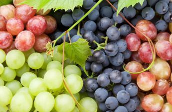 Can A Shih Tzu Eat Grapes – Is It Safe?