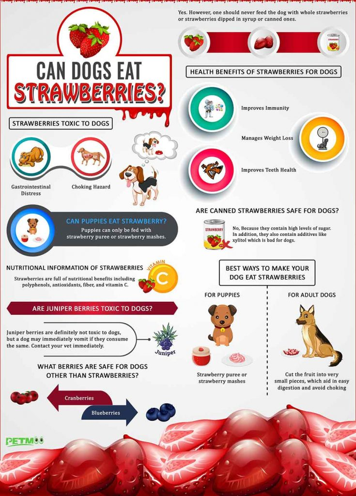 can a shih tzu eat strawberries infogrpahic
