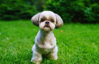 Shih Tzu Allergies – Can You Use Benadryl?