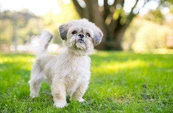 shih tzu skin problems dandruff